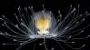 A misteriosa água-viva de apenas dois centímetros que cientistas acreditam ser imortal